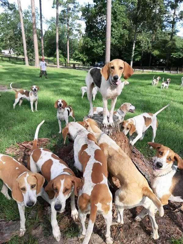 Camden Hunt hounds