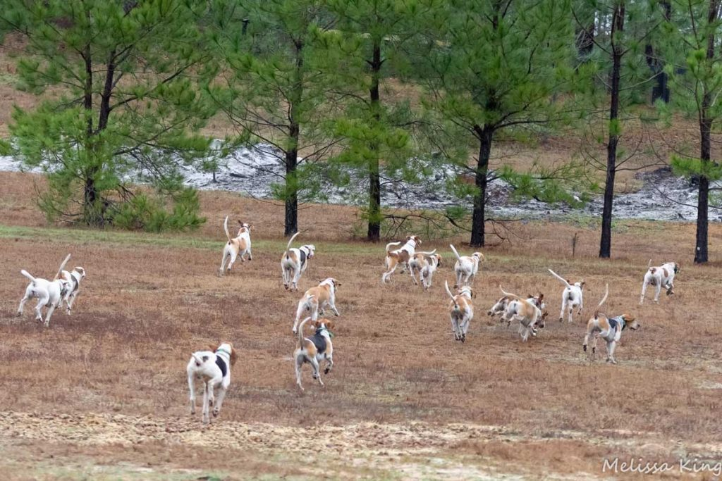 Camden Hunt hounds in field next to pine trees